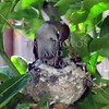 Mother hummingbird feeding baby birds.