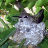Mother hummingbird nesting.