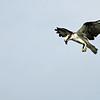 Osprey spots a prey!