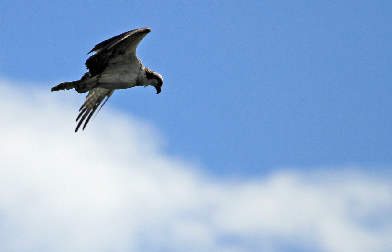 Osprey hovering over water at Bolsa Chica