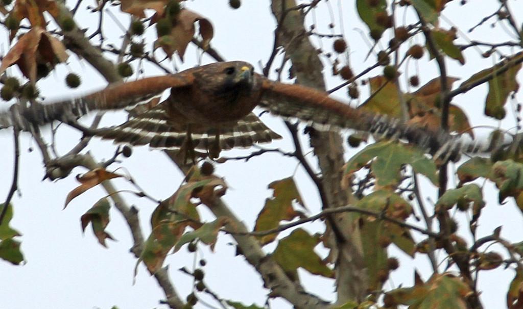 Red-shouldered Hawk (missed photo op)