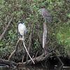 Black-crown Night-Heron with juvenile