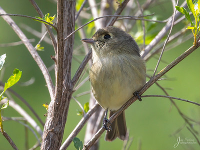 Huttons Vireo