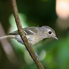 Hutton's Vireo<br /> 30 JUL 2009