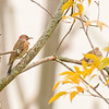 Northern Flicker at Highland's Heron Rookery, Highland, IN