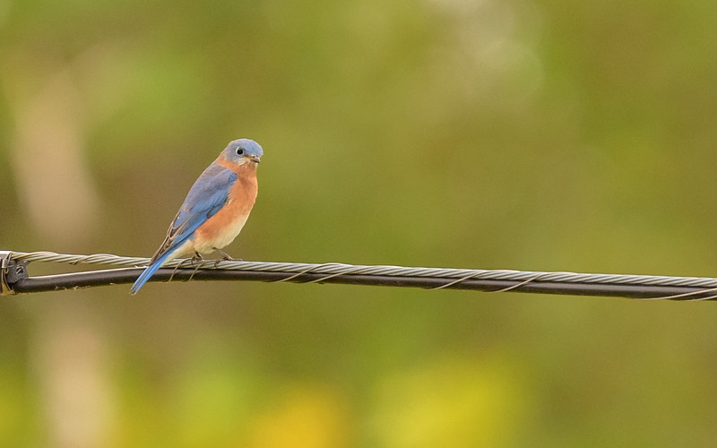 Eastern Bluebird at Highland's Heron Rookery, Highland, IN