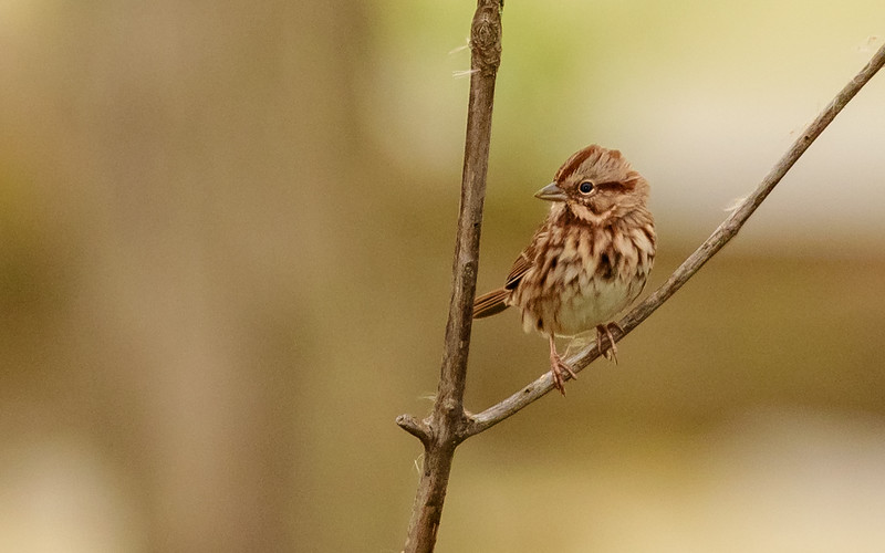 Song Sparrow at Highland's Heron Rookery, Highland, IN