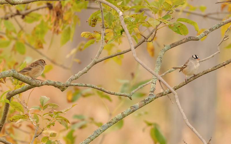 a juvenile & adult White-crowned Sparrow at Highland's Heron Rookery, Highland, IN