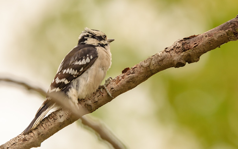 Downy Woodpecker at Hammond Bird Sanctuary, Hammond, IN