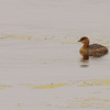 Pied-billed Grebe at Highland's Heron Rookery, Highland, IN