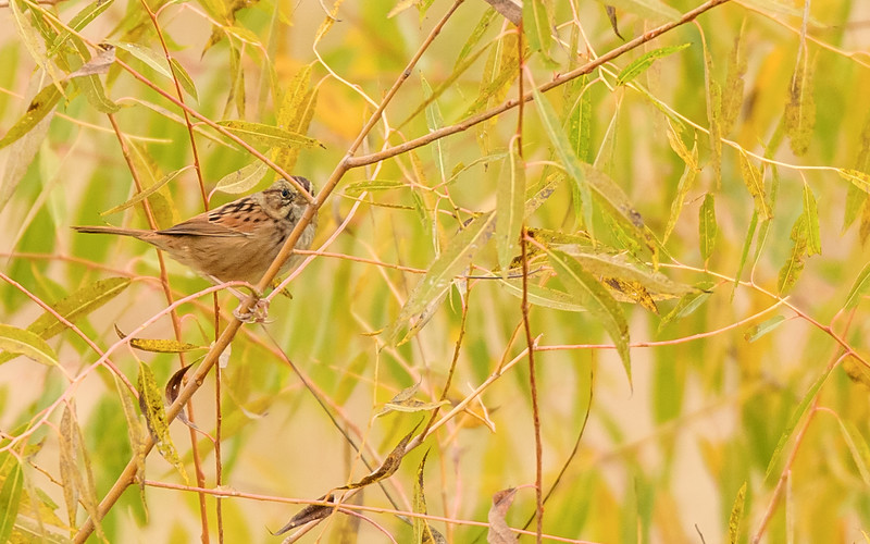 Swamp Sparrow at Highland's Heron Rookery, Highland, IN