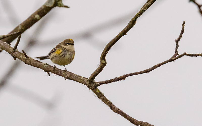 Yellow-rumped Warbler at Highland's Heron Rookery, Highland, IN