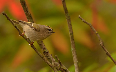 Golden-crowned Kinglet at Hammond Bird Sanctuary, Hammond, IN
