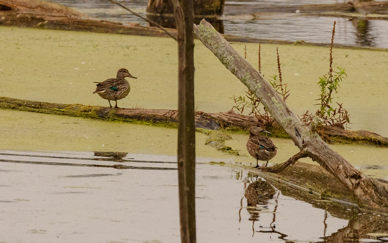 a female Green-winged Teal at Highland's Heron Rookery, Highland, IN