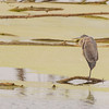 Great Blue Heron at Highland's Heron Rookery, Highland, IN