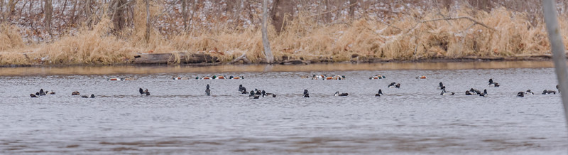 Ring-necked Ducks and Northern Shovelers at Celery Bog Nature Area, West Lafayette, IN