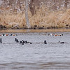 Ring-necked Ducks and Northern Shovelers at Celery Bog Nature Area