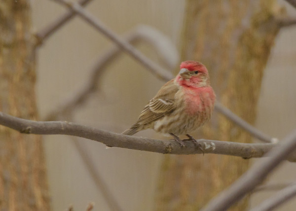 House Finch at Celery Bog Nature Area, West Lafayette, IN