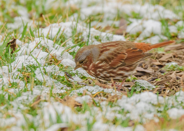 Fox Sparrow at Celery Bog Nature Area, West Lafayette, IN