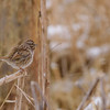 Song Sparrow at Celery Bog Nature Area