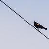 Red-winged Blackbird at Goose Pond FWA