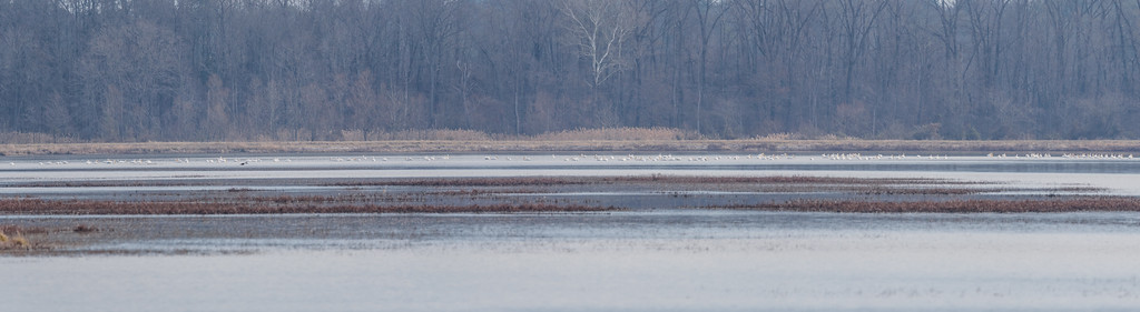 American White Pelican at Goose Pond FWA, Linton, IN