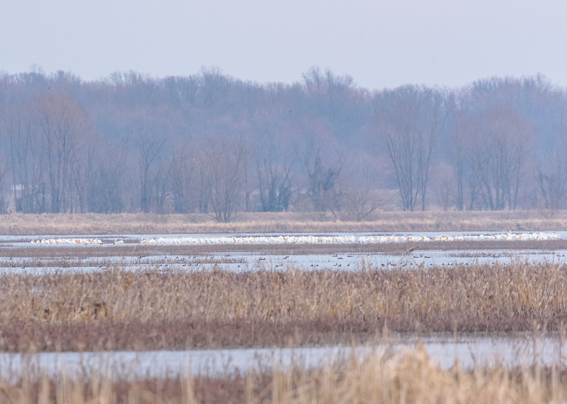 American White Pelicans at Goose Pond FWA, Linton, IN