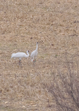 Whooping Crane at Goose Pond FWA, Linton, IN