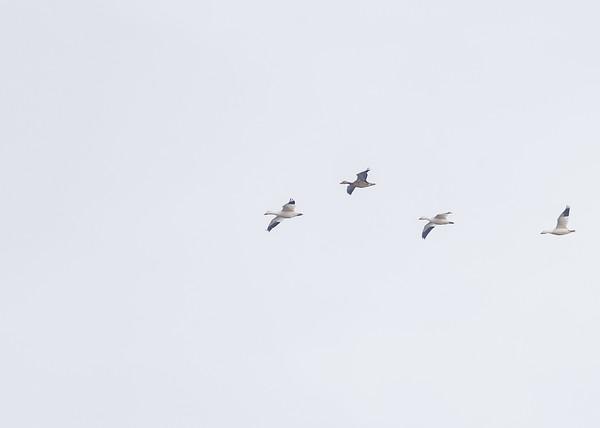 Snow Goose at Goose Pond FWA, Linton, IN