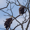 Bald Eagle at Goose Pond FWA