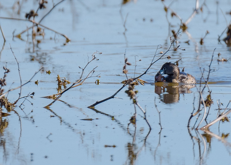 Pied-billed Grebe having some breakfast at Limberlost Swamp Wetland Preserve, Geneva, IN