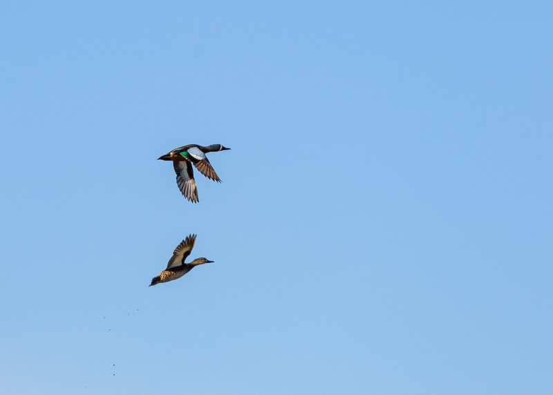 a Blue-winged Teal couple in flight at Limberlost Swamp Wetland Preserve. the blue on the wings is the reason why they are called so. Geneva, IN