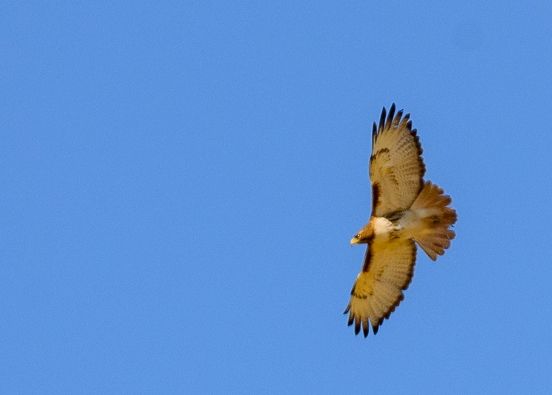 a Red-tailed Hawk in flight at Loblolly Marsh Wetland Preserve, Bryant, IN