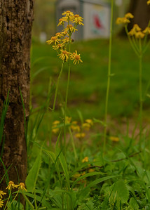 A Butterweed (Packera glabella) shrub seen at Mary Gray Bird Sanctuary, Connersville, IN