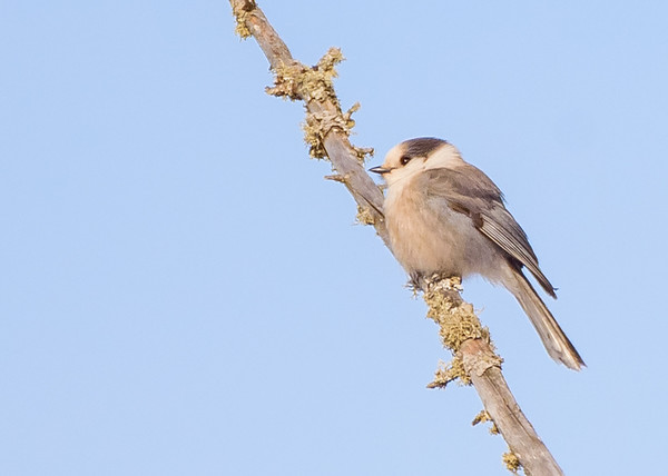Gray Jay somewhere in Sax-Zim Bog, Meadowlands, MN