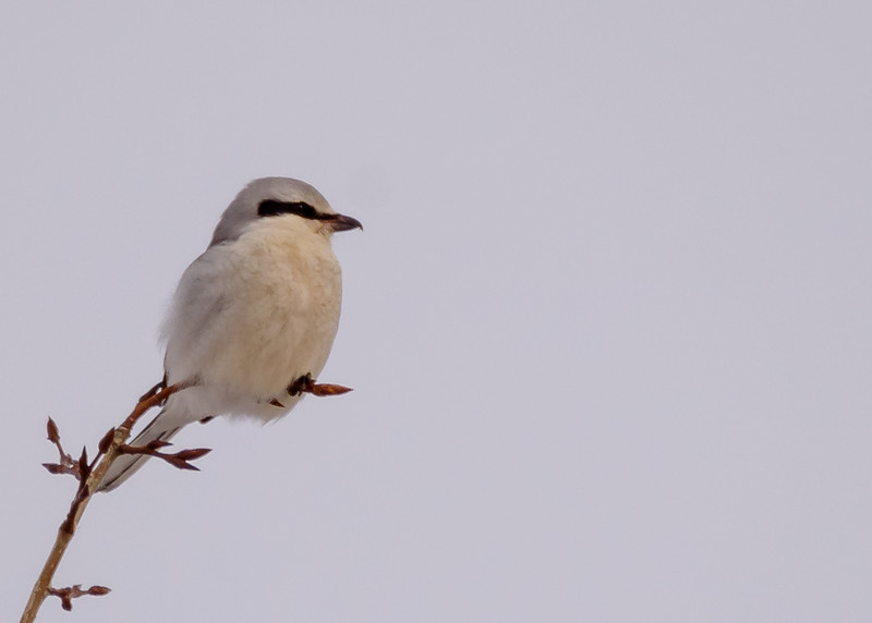 Northern Shrike-2 somewhere in Sax-Zim Bog, Meadowlands, MN