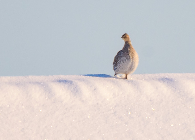 Sharp-tailed Grouse (female) somewhere in Sax-Zim Bog, Meadowlands, MN