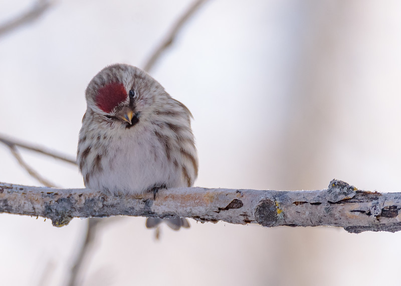 Common Redpoll at Sax-Zim Bog Welcome Center, Meadowlands, MN