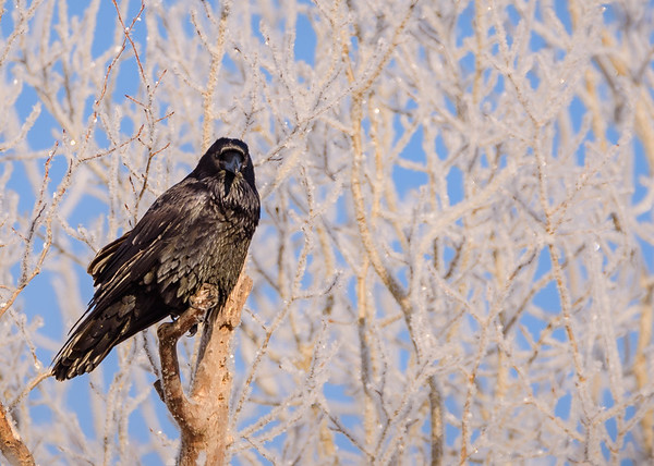 Common Raven at Sax-Zim Bog Welcome Center, Meadowlands, MN