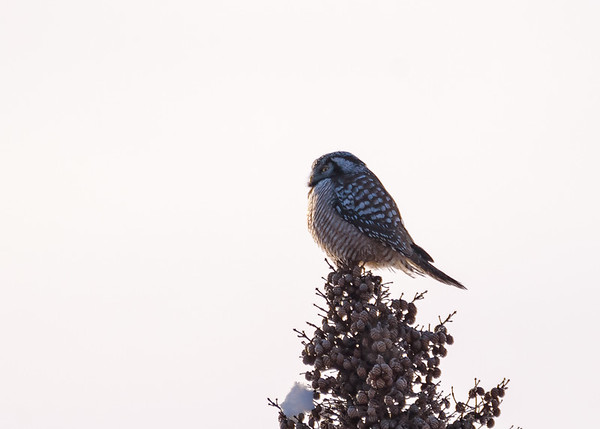 Northern Hawk Owl-1 somewhere in Sax-Zim Bog, Meadowlands, MN