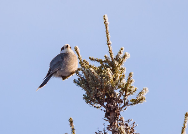 Canada Jay somewhere in Sax-Zim Bog, Meadowlands, MN