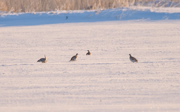 Sharp-tailed Grouse males lekking to females somewhere in Zax-Zim Bog, Meadowlands, MN