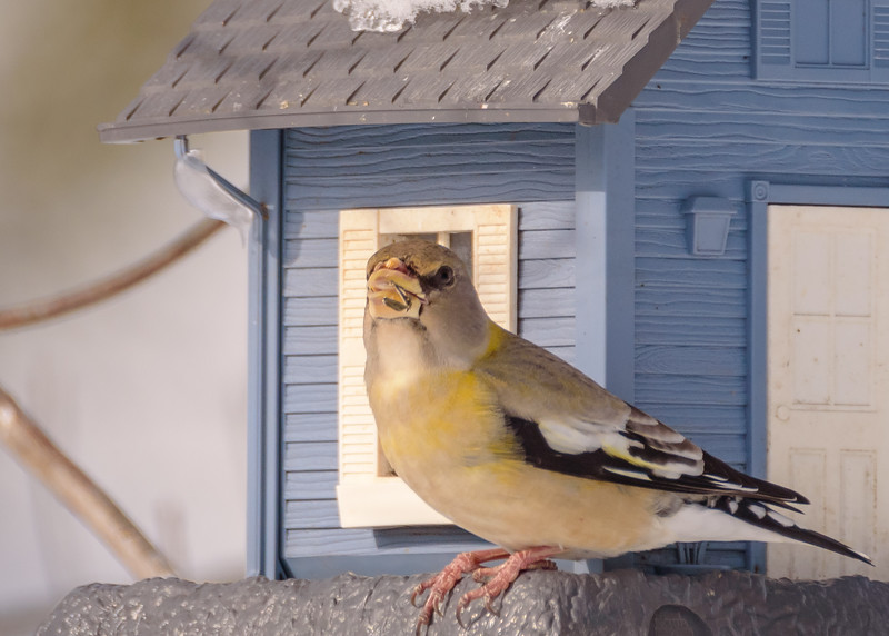 Evening Grosbeak (female) at Mary Lou's Feeders, Hibbing, MN