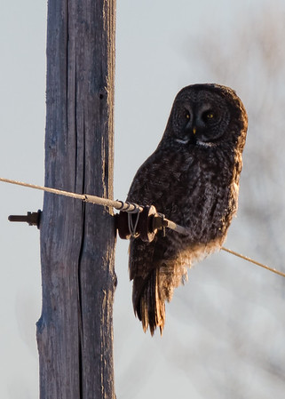 Great Gray Owl-2 somewhere in Sax-Zim Bog, Meadowlands, MN