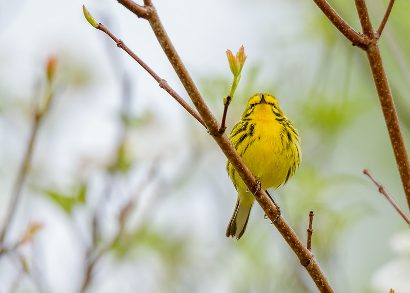 a Prairie Warbler with an attitude at Falling Springs Bird Sanctuary, French Lick, IN