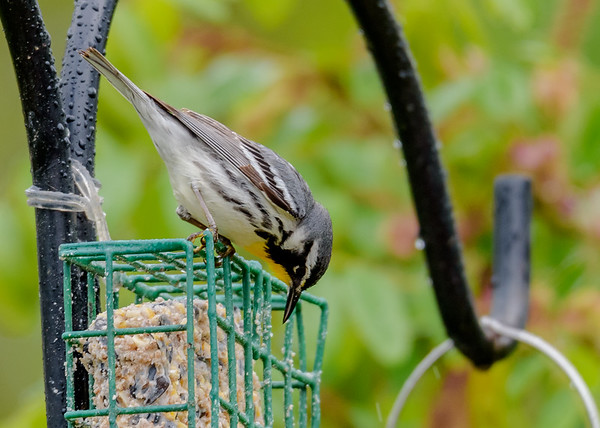 a Yellow-throated Warbler checking out the feeders at Falling Springs Bird Sanctuary, French Lick, IN