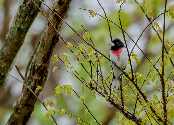a male Rose-breasted Grosbeak at Falling Springs Bird Sanctuary, French Lick, IN