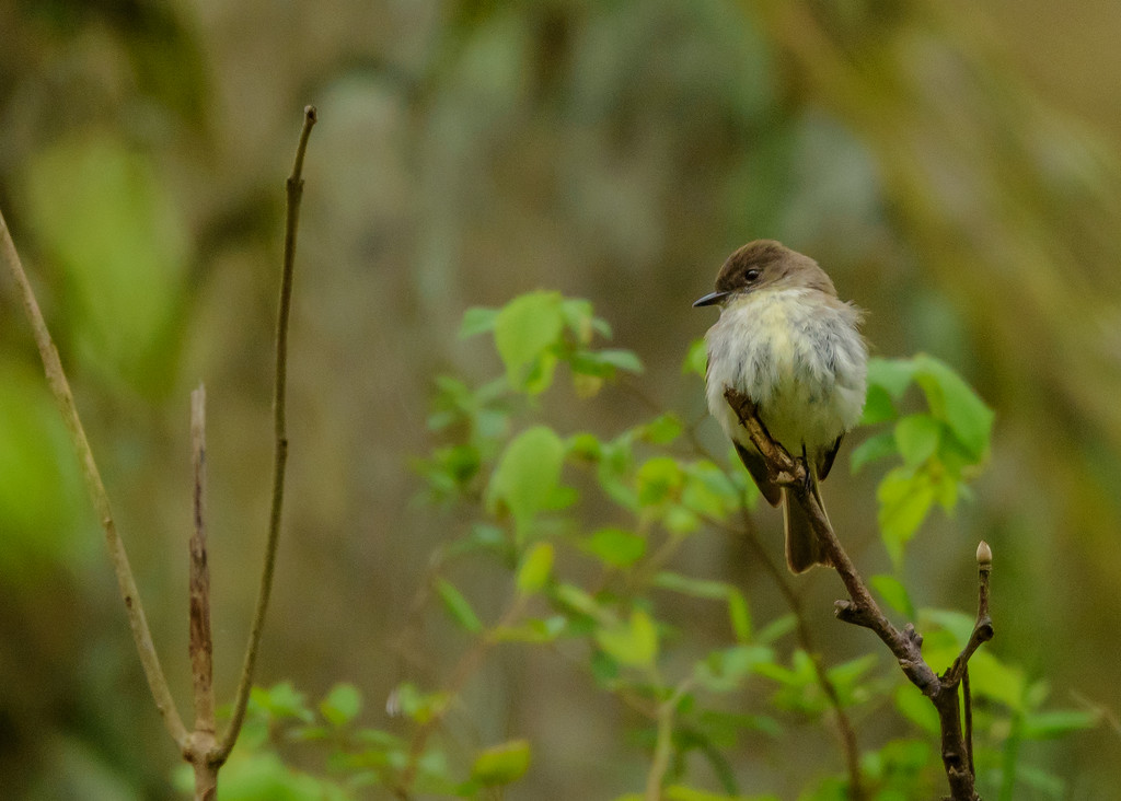 an Eastern Phoebe at Falling Springs Bird Sanctuary, French Lick, IN