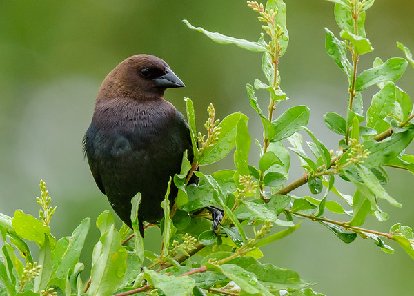 a male Brown-headed Cowbird at Falling Springs Bird Sanctuary, French Lick, IN