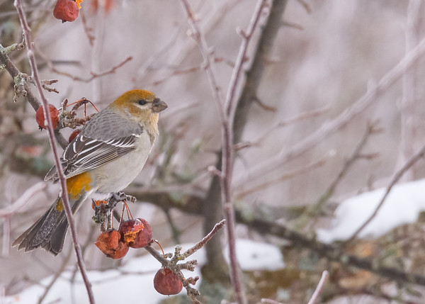 A beautiful female Pine Grosbeak seen at Pickford, MI